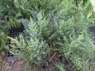 Seedlings for planting in boontjieskloof