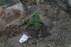 One year old cedar seedling.